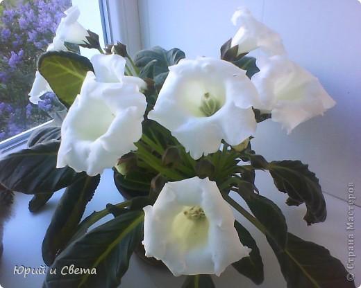 """Эту глоксинию я зову """"Невеста"""",одновременно раскрывает до  50 цветов,это только самое начало цветения. фото 1"""