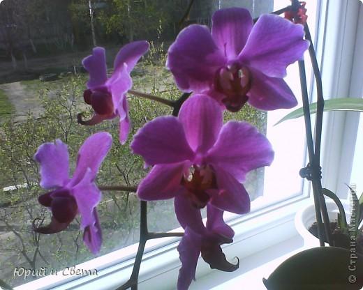 """Эту глоксинию я зову """"Невеста"""",одновременно раскрывает до  50 цветов,это только самое начало цветения. фото 2"""