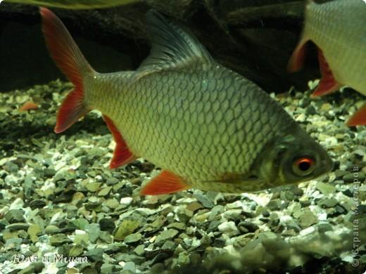 Привет! Я Рыб! Я живу в Тбилисском акватеррариуме! И очень люблю объектив фотоаппарата!  фото 15
