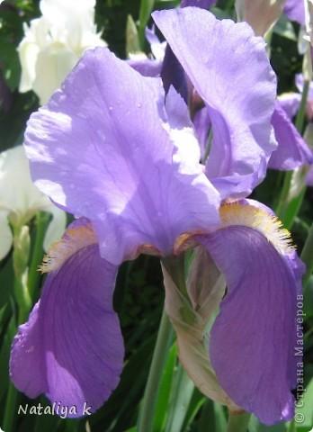 Хочу поделиться с Вами красотой,которая радует меня каждый май.Проснувшись утром,первым делом выглядываю в окошко-что там новенькое зацвело ? ))) фото 8