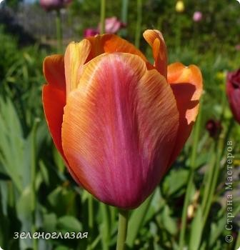 Потихоньку отцветают тюльпаны... фото 1