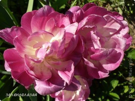 Потихоньку отцветают тюльпаны... фото 5