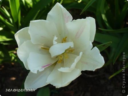 Потихоньку отцветают тюльпаны... фото 8