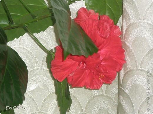 Здравстуйте, сегодня расцвело мое деревце, которое вырастила из маленькой веточки Гибискус сейчас 1,5 метра в диаметре фото 1