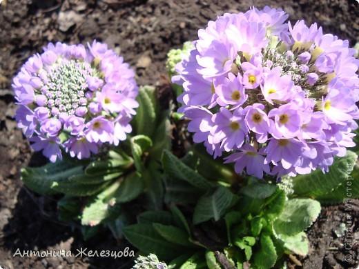 """Примулы. Эти веселые """"колобочки"""" встречают меня, когда я первый раз прихожу в сад-огород после зимы. Крокусы почти всегда отцветают, не дождавшись. фото 1"""