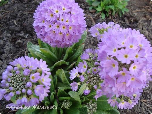 """Примулы. Эти веселые """"колобочки"""" встречают меня, когда я первый раз прихожу в сад-огород после зимы. Крокусы почти всегда отцветают, не дождавшись. фото 3"""