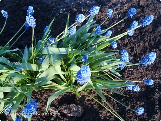 """Примулы. Эти веселые """"колобочки"""" встречают меня, когда я первый раз прихожу в сад-огород после зимы. Крокусы почти всегда отцветают, не дождавшись. фото 10"""