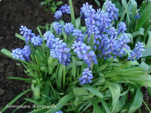 """Примулы. Эти веселые """"колобочки"""" встречают меня, когда я первый раз прихожу в сад-огород после зимы. Крокусы почти всегда отцветают, не дождавшись. фото 11"""