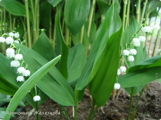 """Примулы. Эти веселые """"колобочки"""" встречают меня, когда я первый раз прихожу в сад-огород после зимы. Крокусы почти всегда отцветают, не дождавшись. фото 23"""