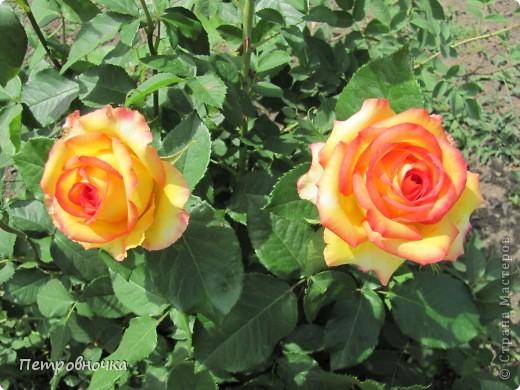 Как только два года назад купили цифровик, стала фотографировать цветы. У меня довольно большая коллекция. Но эти фото сделаны сегодня. Это первые розы этого года. фото 34