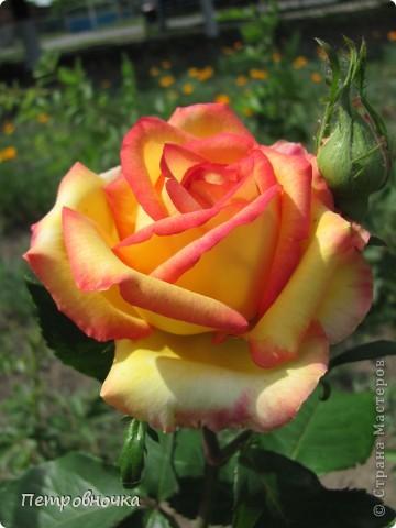 Как только два года назад купили цифровик, стала фотографировать цветы. У меня довольно большая коллекция. Но эти фото сделаны сегодня. Это первые розы этого года. фото 35