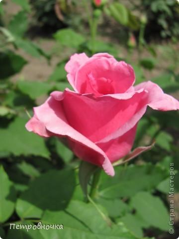 Как только два года назад купили цифровик, стала фотографировать цветы. У меня довольно большая коллекция. Но эти фото сделаны сегодня. Это первые розы этого года. фото 38