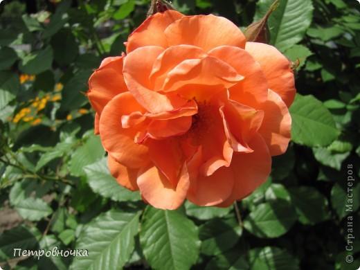 Как только два года назад купили цифровик, стала фотографировать цветы. У меня довольно большая коллекция. Но эти фото сделаны сегодня. Это первые розы этого года. фото 36