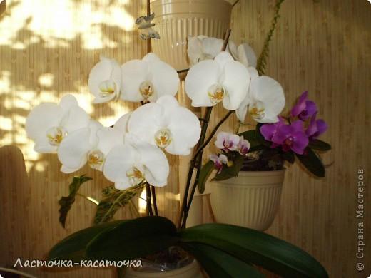 Это мои орхидеи  фото 1