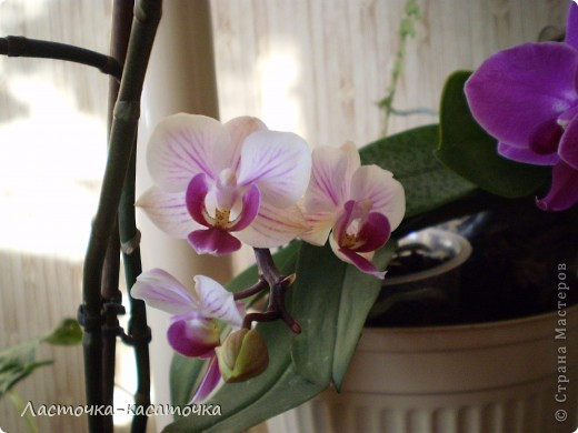 Это мои орхидеи  фото 2