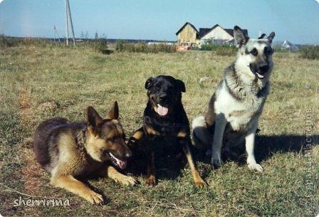 Немецкая овчарка Дэн, ротвейлерша Витта и восточноевропейская овчарка Рэтт фото 1