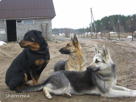 Немецкая овчарка Дэн, ротвейлерша Витта и восточноевропейская овчарка Рэтт фото 8