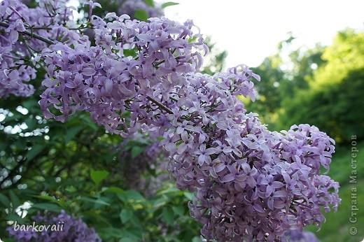 31 мая мы пошли гулять в Ботанический сад и даже не надеялись увидеть цветущую сирень. Она уже отцветала, но не потеряла своего великолепия. фото 1