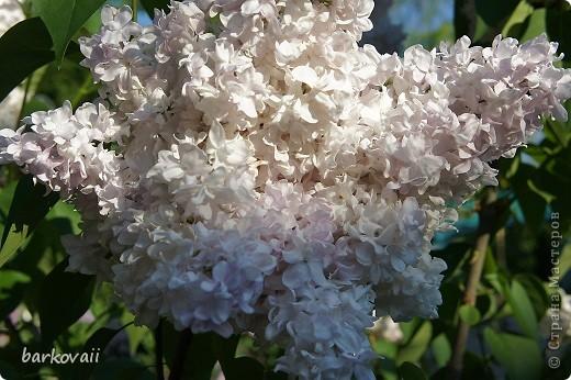 31 мая мы пошли гулять в Ботанический сад и даже не надеялись увидеть цветущую сирень. Она уже отцветала, но не потеряла своего великолепия. фото 2