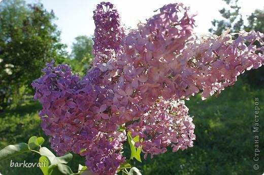 31 мая мы пошли гулять в Ботанический сад и даже не надеялись увидеть цветущую сирень. Она уже отцветала, но не потеряла своего великолепия. фото 3