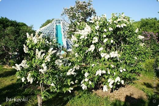31 мая мы пошли гулять в Ботанический сад и даже не надеялись увидеть цветущую сирень. Она уже отцветала, но не потеряла своего великолепия. фото 5