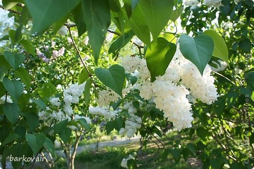 31 мая мы пошли гулять в Ботанический сад и даже не надеялись увидеть цветущую сирень. Она уже отцветала, но не потеряла своего великолепия. фото 6