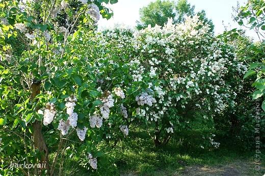 31 мая мы пошли гулять в Ботанический сад и даже не надеялись увидеть цветущую сирень. Она уже отцветала, но не потеряла своего великолепия. фото 7