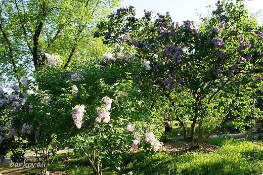31 мая мы пошли гулять в Ботанический сад и даже не надеялись увидеть цветущую сирень. Она уже отцветала, но не потеряла своего великолепия. фото 8