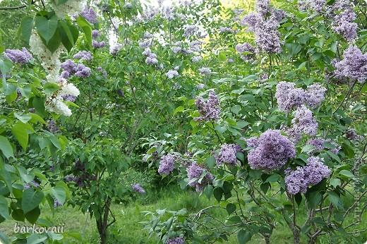 31 мая мы пошли гулять в Ботанический сад и даже не надеялись увидеть цветущую сирень. Она уже отцветала, но не потеряла своего великолепия. фото 10