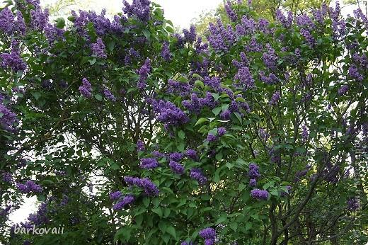 31 мая мы пошли гулять в Ботанический сад и даже не надеялись увидеть цветущую сирень. Она уже отцветала, но не потеряла своего великолепия. фото 11