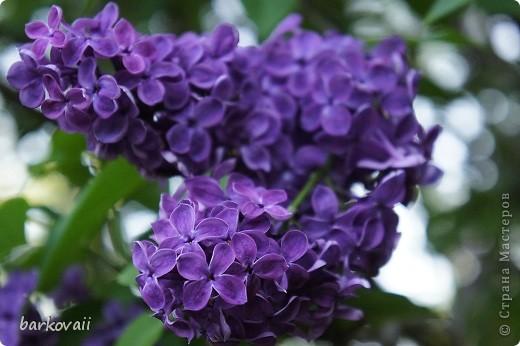 31 мая мы пошли гулять в Ботанический сад и даже не надеялись увидеть цветущую сирень. Она уже отцветала, но не потеряла своего великолепия. фото 12