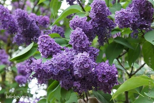 31 мая мы пошли гулять в Ботанический сад и даже не надеялись увидеть цветущую сирень. Она уже отцветала, но не потеряла своего великолепия. фото 13