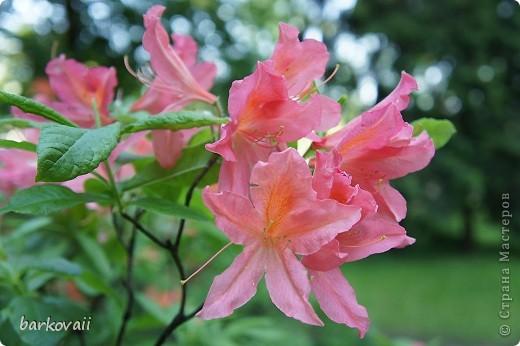 Рододендроны фото 12
