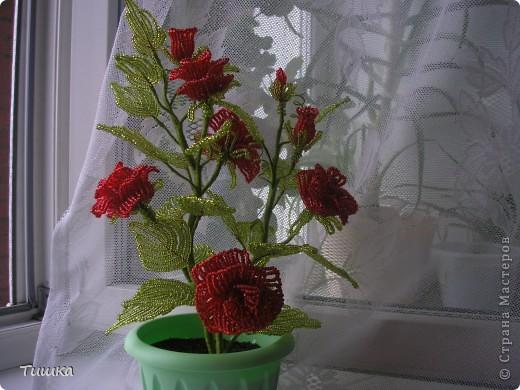 Кустик роз