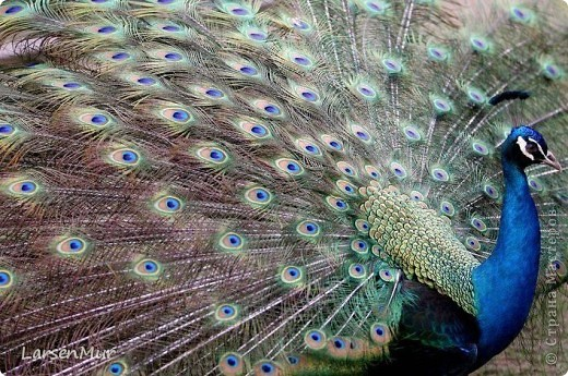 Вот и я наконец-то собрала долгожданного павлина =) За основу взяла МК жар-птицы Галины Тиховой http://stranamasterov.ru/node/172262. Долго подбирала цвета, хотелось чтобы максимально был похож на настоящего. фото 2