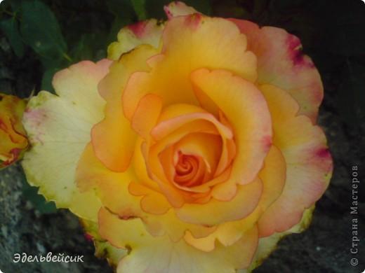 Начнем любоваться красотой с куста чайной розы. Пахнет она невероятно. Вкусный аромат стоит вокруг) А варенье из нее какое... Ммм...))) И чай невероятно ароматный) фото 22