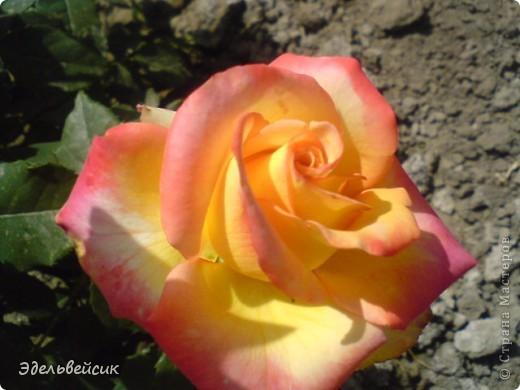 Начнем любоваться красотой с куста чайной розы. Пахнет она невероятно. Вкусный аромат стоит вокруг) А варенье из нее какое... Ммм...))) И чай невероятно ароматный) фото 23