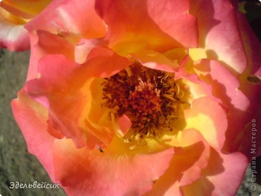 Начнем любоваться красотой с куста чайной розы. Пахнет она невероятно. Вкусный аромат стоит вокруг) А варенье из нее какое... Ммм...))) И чай невероятно ароматный) фото 24