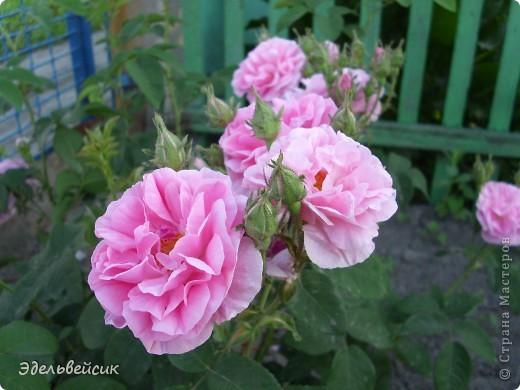 Начнем любоваться красотой с куста чайной розы. Пахнет она невероятно. Вкусный аромат стоит вокруг) А варенье из нее какое... Ммм...))) И чай невероятно ароматный) фото 2