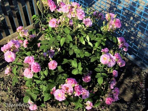 Начнем любоваться красотой с куста чайной розы. Пахнет она невероятно. Вкусный аромат стоит вокруг) А варенье из нее какое... Ммм...))) И чай невероятно ароматный) фото 1