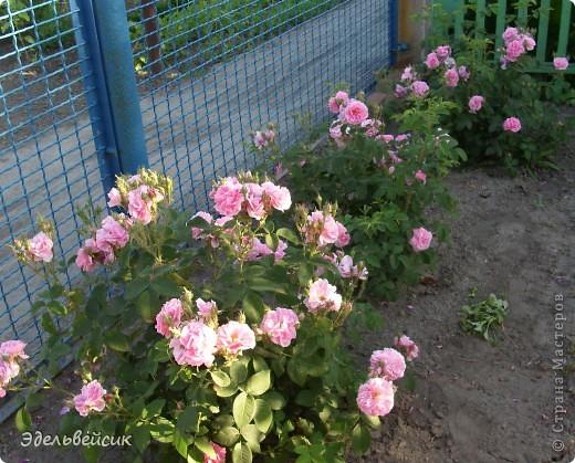 Начнем любоваться красотой с куста чайной розы. Пахнет она невероятно. Вкусный аромат стоит вокруг) А варенье из нее какое... Ммм...))) И чай невероятно ароматный) фото 3