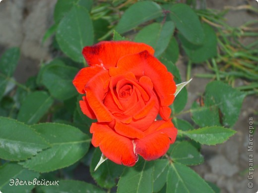 Начнем любоваться красотой с куста чайной розы. Пахнет она невероятно. Вкусный аромат стоит вокруг) А варенье из нее какое... Ммм...))) И чай невероятно ароматный) фото 7