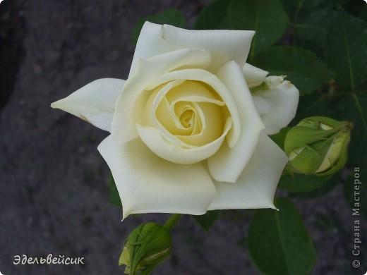 Начнем любоваться красотой с куста чайной розы. Пахнет она невероятно. Вкусный аромат стоит вокруг) А варенье из нее какое... Ммм...))) И чай невероятно ароматный) фото 6