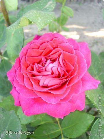 Начнем любоваться красотой с куста чайной розы. Пахнет она невероятно. Вкусный аромат стоит вокруг) А варенье из нее какое... Ммм...))) И чай невероятно ароматный) фото 9