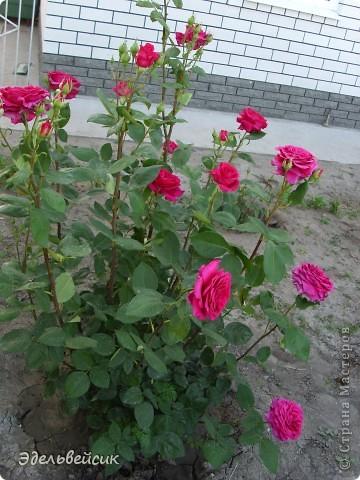 Начнем любоваться красотой с куста чайной розы. Пахнет она невероятно. Вкусный аромат стоит вокруг) А варенье из нее какое... Ммм...))) И чай невероятно ароматный) фото 8