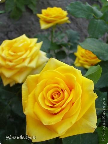 Начнем любоваться красотой с куста чайной розы. Пахнет она невероятно. Вкусный аромат стоит вокруг) А варенье из нее какое... Ммм...))) И чай невероятно ароматный) фото 11