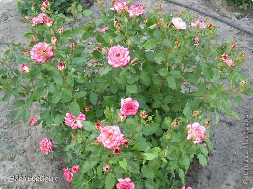 Начнем любоваться красотой с куста чайной розы. Пахнет она невероятно. Вкусный аромат стоит вокруг) А варенье из нее какое... Ммм...))) И чай невероятно ароматный) фото 18