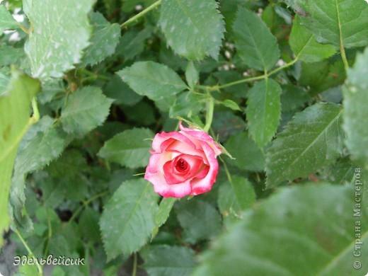 Начнем любоваться красотой с куста чайной розы. Пахнет она невероятно. Вкусный аромат стоит вокруг) А варенье из нее какое... Ммм...))) И чай невероятно ароматный) фото 20