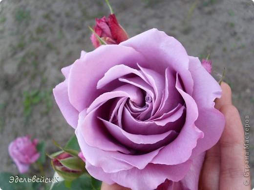 Начнем любоваться красотой с куста чайной розы. Пахнет она невероятно. Вкусный аромат стоит вокруг) А варенье из нее какое... Ммм...))) И чай невероятно ароматный) фото 14