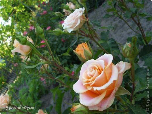 Начнем любоваться красотой с куста чайной розы. Пахнет она невероятно. Вкусный аромат стоит вокруг) А варенье из нее какое... Ммм...))) И чай невероятно ароматный) фото 16